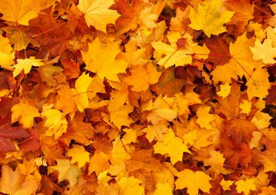maple-leaves-background