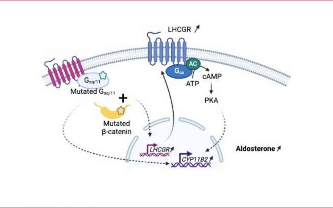 Identification d'anomalies génétiques chez des patients développant un hyperaldostéronisme à la puberté, pendant la grossesse ou autour de la ménopause