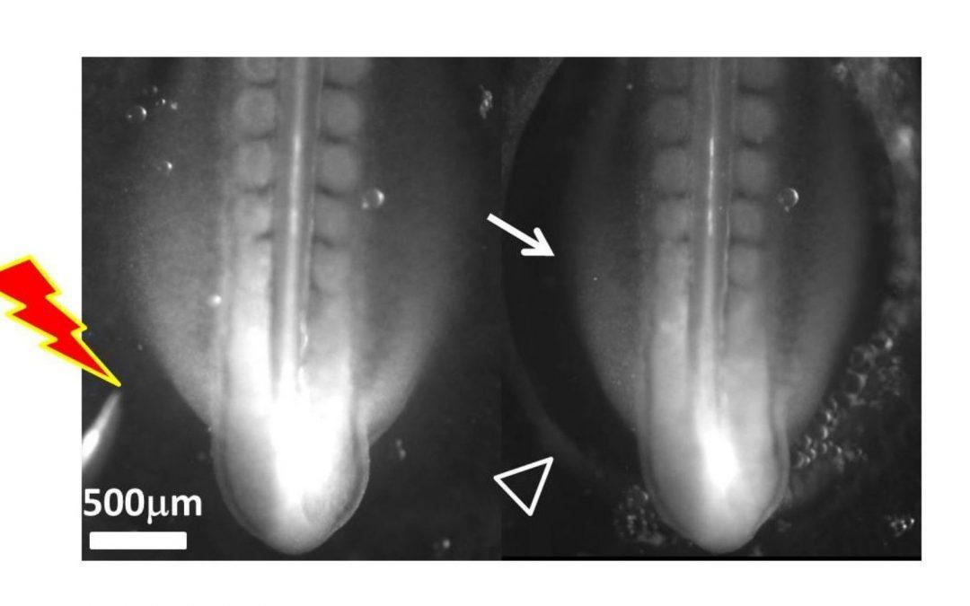 Embryologie : une cascade de contractions réflexes déclenche le développement des pattes