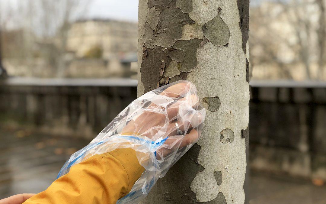 La pollution urbaine mesurée dans l'écorce des platanes